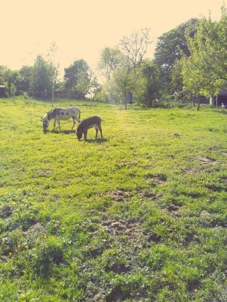 Zwei Esel auf der Weide