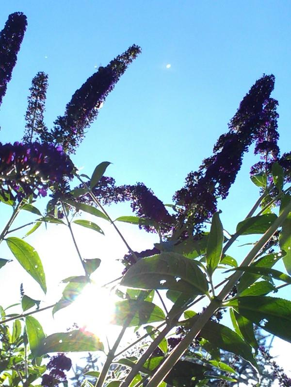 Fliederstrauch und Sonne