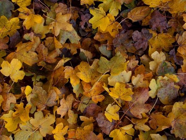 Gelbes Herbstlaub bedeckt den Boden