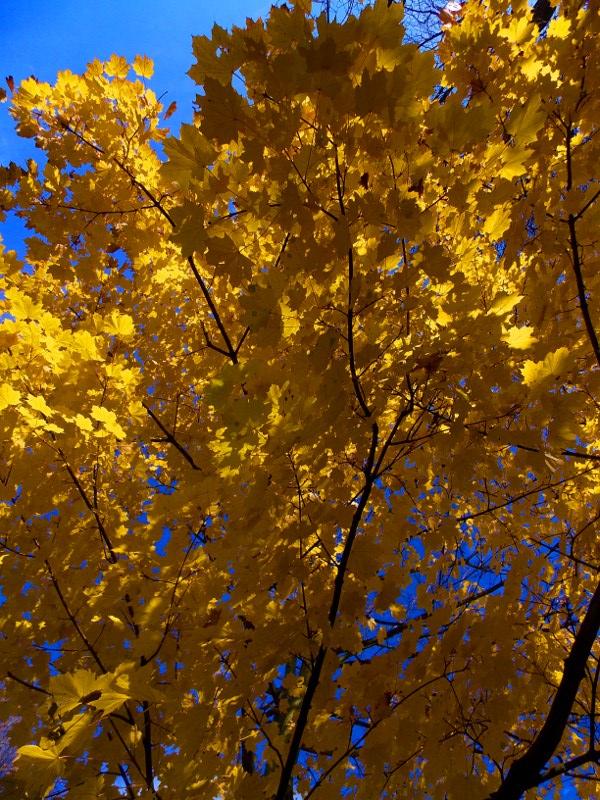 Gelber Baum vor blauem Himmel